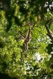 White gibbon hanging on a tree in Gunung Leuser National Park Stock Image