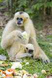 White gibbon and her son. Eatting the fruit Stock Images