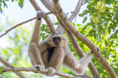 White gibbon monkey. Royalty Free Stock Photo