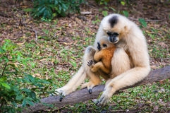 White gibbon mother and young gibbon at stump Stock Photo