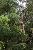 White Gibbons On Tree. White Hand Gibbon Hanging From The Tree Branch. Stock Image