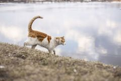 White ginger cat confident steps down the steep slope to the riv Royalty Free Stock Image