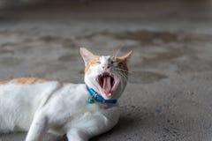 White ginger cat on floor yawning stock photography