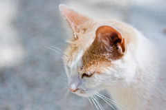 White and Ginger Cat. The head of a white and ginger cat, against a hot white background, with the focus on the face Royalty Free Stock Photos