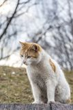 White ginger cat intently looking down sitting on a granite emba Royalty Free Stock Photography