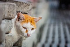 White-and-ginger cat looks from behind a gray wall and looks ahead, cat`s yellow eyes, gray blurred background royalty free stock image