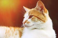 White ginger cat portrait Stock Images