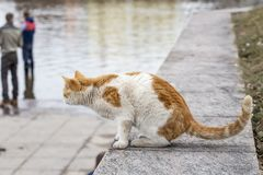White ginger cat sits on a granite embankment and intently watch Stock Image