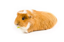 White and Ginger Guinea Pig Eating Royalty Free Stock Photography