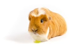 White and Ginger Guinea Pig Wtih Lettuce Royalty Free Stock Image