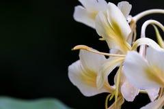White ginger, Hedychium coronarium Stock Photo