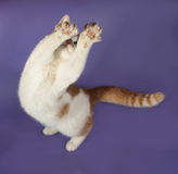 White with ginger kitten stretched paws up on lilac Royalty Free Stock Images