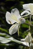 White ginger lily on dark forest background Stock Image