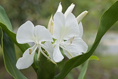 White ginger lily flowers. White ginger lily Hedychium coronarium. Called White garland-lily also Stock Image