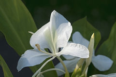 White ginger lily flowers Royalty Free Stock Photo