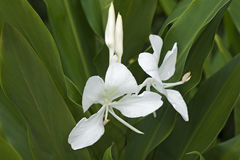White ginger lily flowers Royalty Free Stock Images