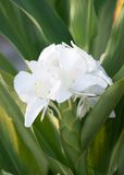 White Ginger or Mariposa, Cuban National Flower. Cuba's National Flower is the White Ginger or Hedychium coronarium also known in Spanish as Mariposa. The White royalty free stock photos