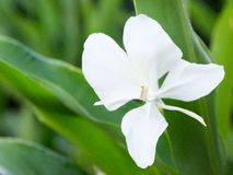 White Ginger or Mariposa, Cuban National Flower Stock Photo