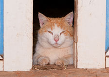 White and ginger tomcat looking through barn doors Royalty Free Stock Images