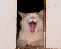 White and ginger tomcat yawning Stock Photos