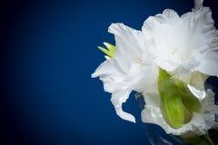 White gladioli Stock Photography