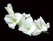 White gladiolus. Beautiful white gladiolus isolated on a black background Stock Photography