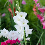 White gladiolus Royalty Free Stock Photo