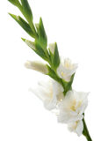 White Gladiolus detail Royalty Free Stock Photo