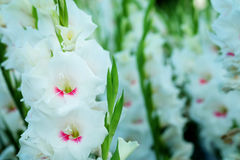 White Gladiolus flower in field. Representation to Splendid  Beauty and promise. Stock Image