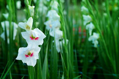 White Gladiolus flower in field. Representation to Splendid  Beauty and promise. Royalty Free Stock Images
