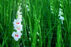 White Gladiolus flower in field. Representation to Splendid  Beauty and promise. Royalty Free Stock Image