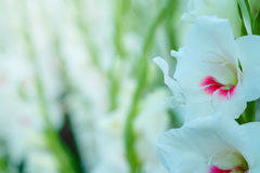 White Gladiolus flower in field. Representation to Splendid  Beauty and promise. Royalty Free Stock Photos