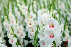 White Gladiolus flower in field. Representation to Splendid Beauty and promise. And have some space for write wording Stock Photography