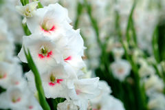 White Gladiolus flower in field. Representation to Splendid Beauty and promise. And have some space for write wording Royalty Free Stock Images