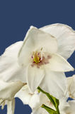 White gladiolus flowers on blue Royalty Free Stock Photo