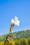 White gladiolus flowers on blue sky Royalty Free Stock Photos