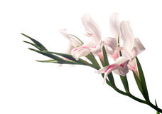 White gladioluses. Blossoming white gladioluses (sword-grass lily) with red heart shape isolated over white Royalty Free Stock Photography