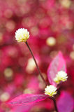 White globe amaranth Royalty Free Stock Photography