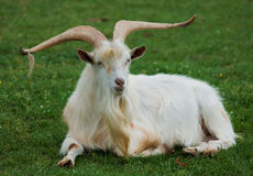 White goat. Sitting in the grass Stock Image