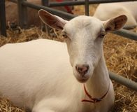 White Goat. Royalty Free Stock Images