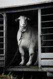 White goat royalty free stock image