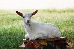 White goat Stock Photo