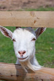 White goat. Looking through fence Stock Photo