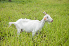 White goat Royalty Free Stock Photos