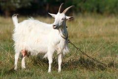 A white goat Royalty Free Stock Photo