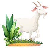 A white goat Royalty Free Stock Image