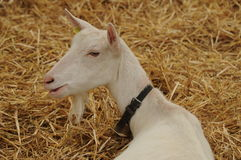 White Goat. Relaxing in the straw. It is a typical swiss farm animal. Probably a Saanenziege Royalty Free Stock Images