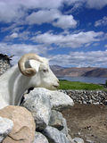 White goat. Watching himalayan landscape Stock Photography