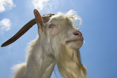 White goat Royalty Free Stock Photo