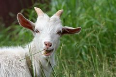 White goat. Eats grass in a meadow Stock Image